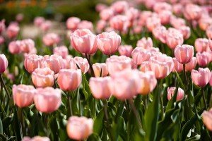 Dutch National Tulip Day is held on Dam Square